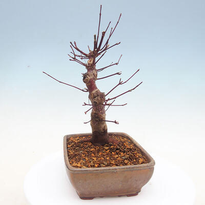 Outdoor bonsai - Maple palmatum DESHOJO - Japanese Maple - 2