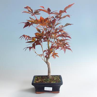 Outdoor bonsai - Acer palm. Atropurpureum-Japanese Maple Red 408-VB2019-26722 - 2