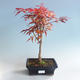 Outdoor bonsai - Acer palm. Atropurpureum-Japanese Maple Red 408-VB2019-26725 - 2/2