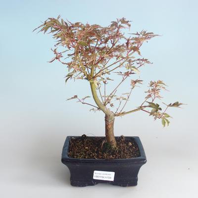 Outdoor Bonsai - Japanese Maple Acer palmatum Butterfly 408-VB2019-26728 - 2