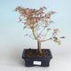 Outdoor Bonsai - Japanese Maple Acer palmatum Butterfly 408-VB2019-26728 - 2/2