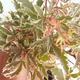 Outdoor Bonsai - Japanese Maple Acer palmatum Butterfly 408-VB2019-26729 - 2/2