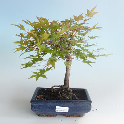 Outdoor bonsai - Acer palmatum Beni Tsucasa - Japanese Maple 408-VB2019-26736 - 2