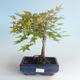 Outdoor bonsai - Acer palmatum Beni Tsucasa - Japanese Maple 408-VB2019-26736 - 2/4