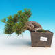 Pinus thunbergii - Pine thunbergova - 2/3