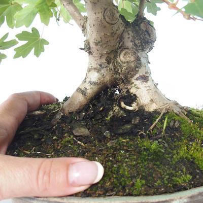 Outdoor bonsai-Acer campestre-Maple Babyb 408-VB2019-26807 - 2