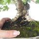 Outdoor bonsai-Acer campestre-Maple Babyb 408-VB2019-26807 - 2/5