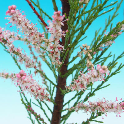 Outdoor bonsai - Tamaris parviflora Small-leaved Tamarisk 408-VB2019-26801 - 2