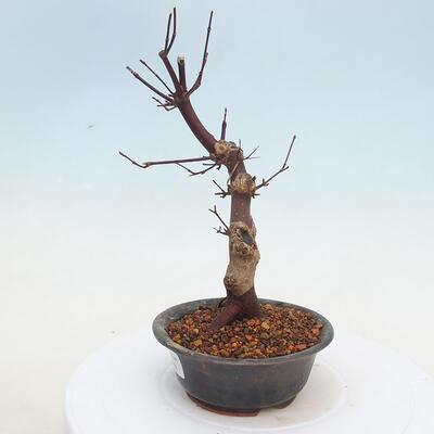 Outdoor bonsai - Maple palmatum DESHOJO - Japanese Maple - 2