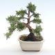Outdoor bonsai - Juniperus chinensis - Chinese juniper VB2020-75 - 2/2