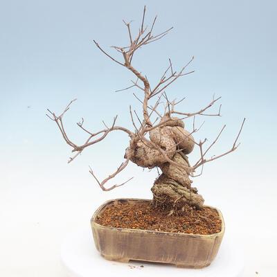 Outdoor bonsai - beautiful Callicarpa - 2