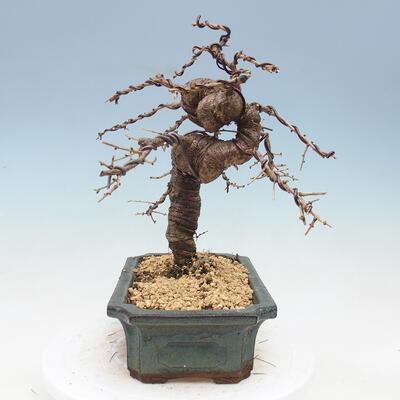Outdoor bonsai - Japanese azalea - Azalea BENIcASA - 2