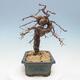 Outdoor bonsai - Japanese azalea - Azalea BENIcASA - 2/2