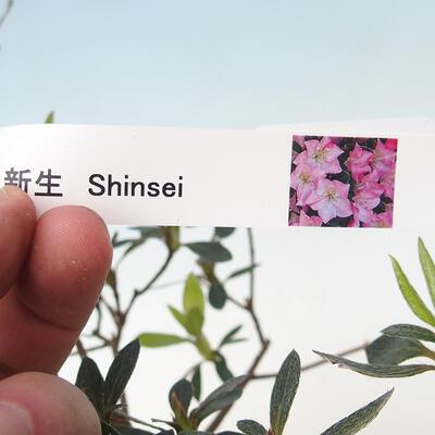 Outdoor bonsai - Japanese azalea - Azalea SHINSEI - 2