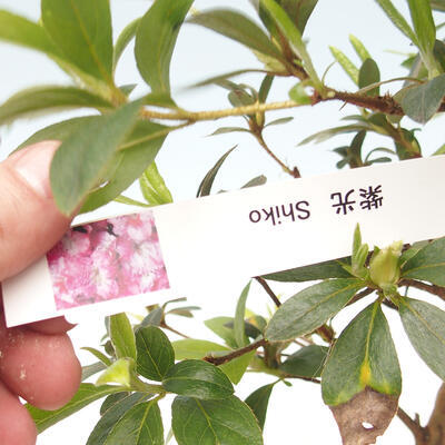 Outdoor bonsai - Japanese azalea - Azalea SHIKO - 2