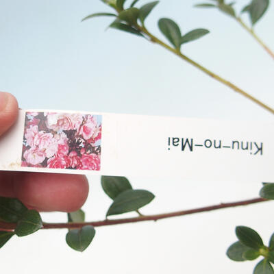 Outdoor bonsai - Japanese azalea - Azalea KINU NO MAI - 2