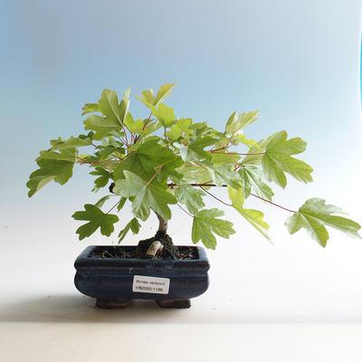 Outdoor bonsai-Acer campestre-Babyka maple - 2