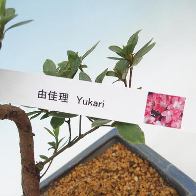 Outdoor bonsai - Japanese azalea - Azalea YUKARI - 2