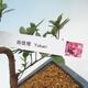 Outdoor bonsai - Japanese azalea - Azalea YUKARI - 2/2