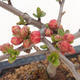 Outdoor bonsai - Chaenomeles spec. Rubra - Quince VB2020-189 - 2/3