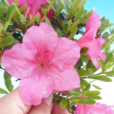 Outdoor bonsai - Rhododendron sp. - Pink azalea - 2