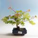 Outdoor bonsai-Acer campestre-Babyka maple - 2/2