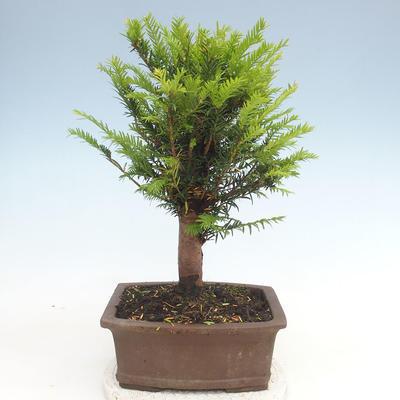 Outdoor bonsai - Taxus bacata - Red yew - 2