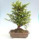 Outdoor bonsai - Taxus bacata - Red yew - 2/3