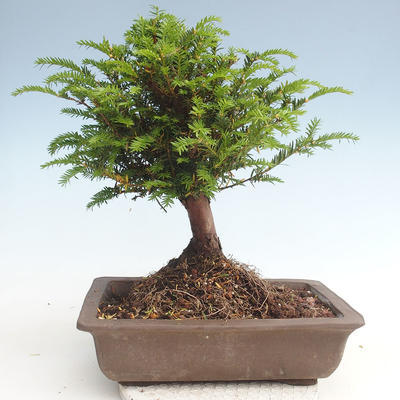 Outdoor bonsai - Taxus bacata - Red yew - 2