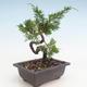 Outdoor bonsai - Juniperus chinensis Itoigawa-Chinese juniper - 2/3