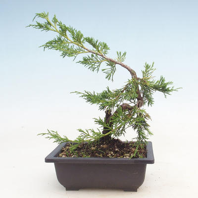Outdoor bonsai - Juniperus chinensis Itoigawa-Chinese juniper - 2