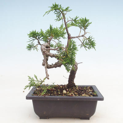 Outdoor bonsai - Juniperus chinensis Itoigawa-Chinese juniper - 2