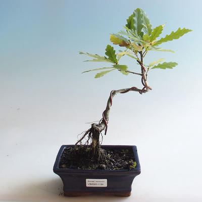 Outdoor bonsai-Quercus robur-Summer oak - 2