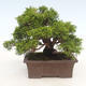 Outdoor bonsai - Juniperus chinensis Itoigawa-Chinese juniper - 2/6