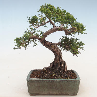 Outdoor bonsai - Juniperus chinensis - Chinese juniper - 2