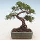 Outdoor bonsai - Juniperus chinensis - Chinese juniper - 2/5