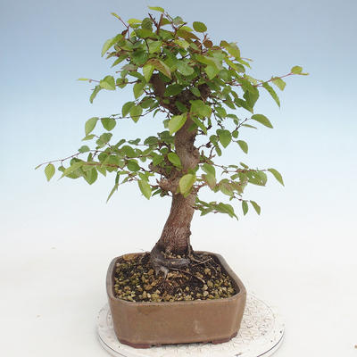 Outdoor bonsai -Carpinus CARPINOIDES - Korean Hornbeam - 2