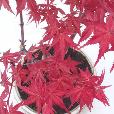 Outdoor bonsai - Maple palmatum DESHOJO - Maple palm - 2