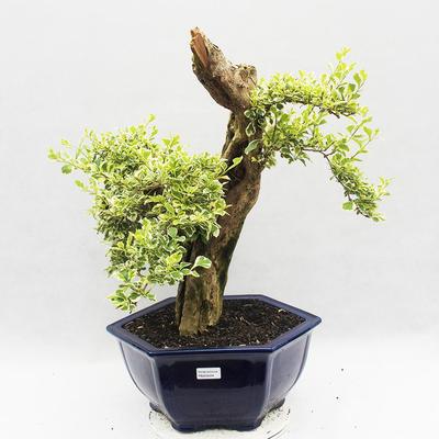 Indoor bonsai - Duranta erecta Variegata - 2