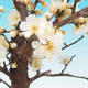 Outdoor bonsai - Japanese apricot - Prunus Mume - 2/2