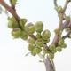 Outdoor bonsai - Chaenomeles superba jet trail - White quince - 2/4