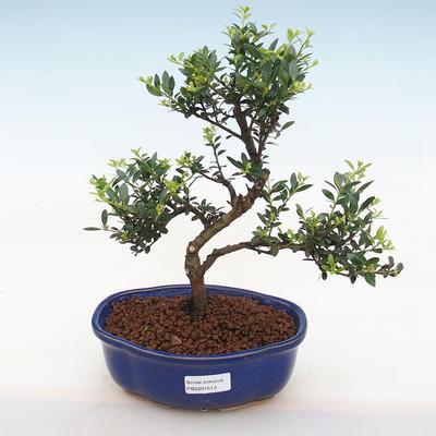 Indoor bonsai - Ilex crenata - Holly - 2