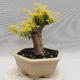 Indoor bonsai -Ligustrum Aurea - Bird's beak - 2/6