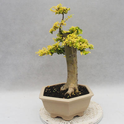 Indoor bonsai -Ligustrum Aurea - Bird's beak - 2