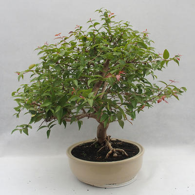 Indoor Bonsai - Australian Cherry - Eugenia uniflora - 2