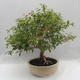 Indoor Bonsai - Australian Cherry - Eugenia uniflora - 2/5