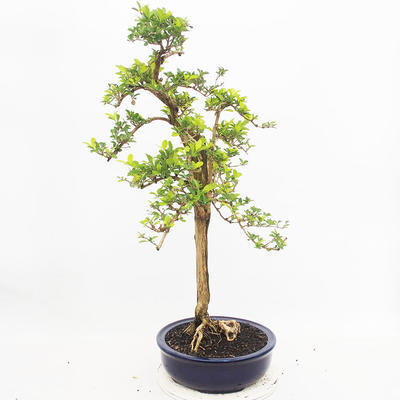 Indoor bonsai - Duranta erecta Aurea - 2