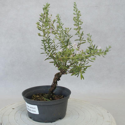 Outdoor bonsai - Satureja mountain - Satureja montana - 2