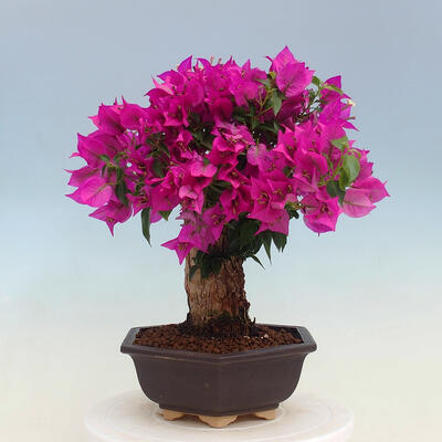 Outdoor bonsai - Pseudocydonia sinensis - Chinese quince - 2
