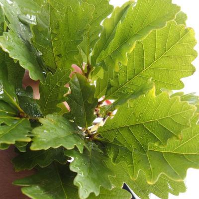Outdoor bonsai-Quercus robur-Summer oak - 2